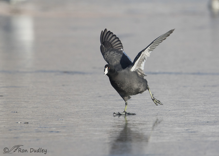 american-coot-2701-ron-dudley