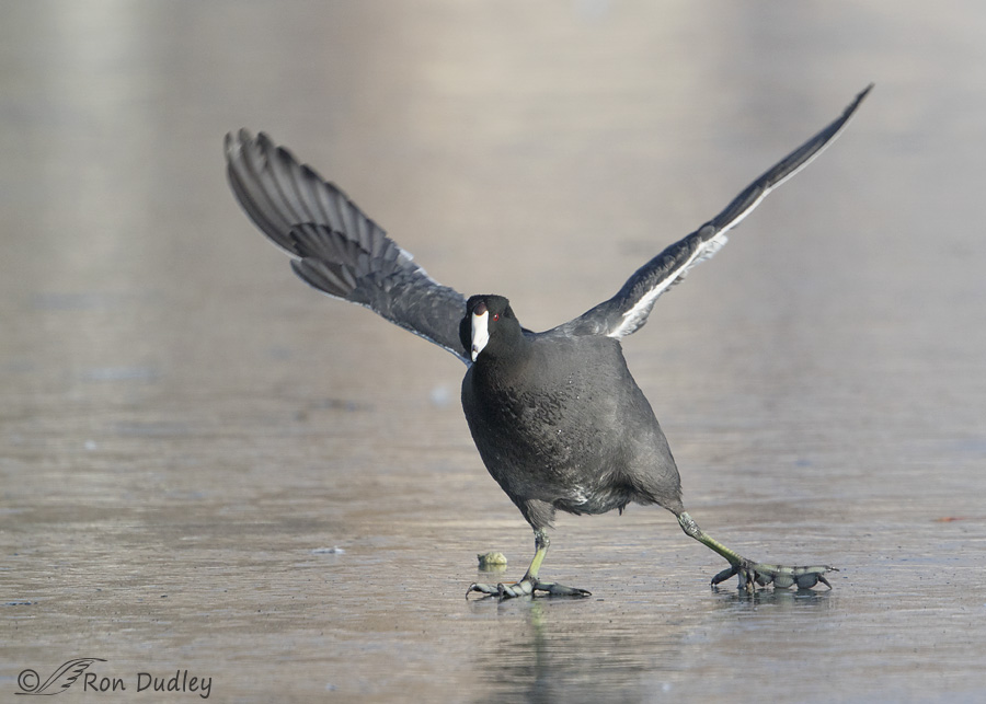american-coot-2714-ron-dudley
