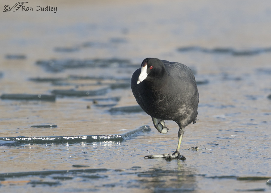 american-coot-2740-ron-dudley
