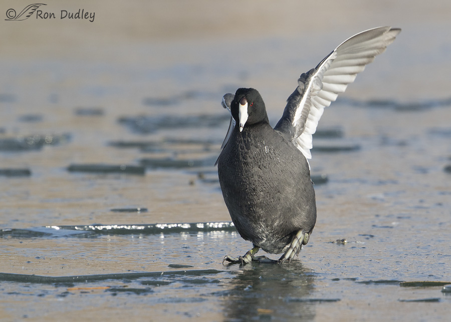 american-coot-2741-ron-dudley