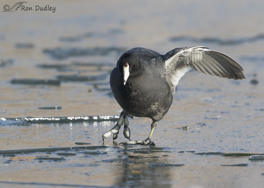 american-coot-2744-ron-dudley