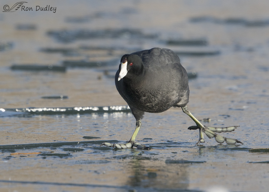 american-coot-2749-ron-dudley