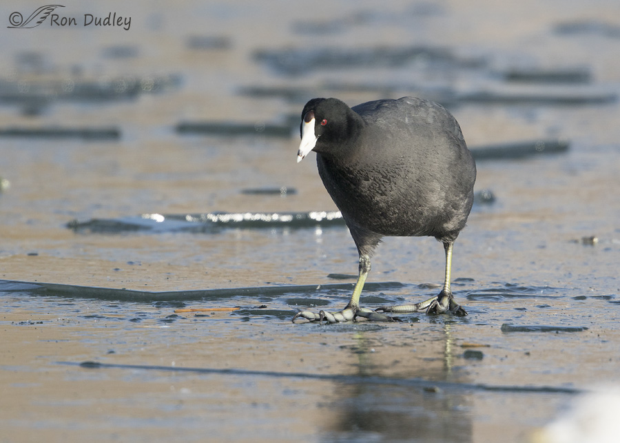 american-coot-2753-ron-dudley