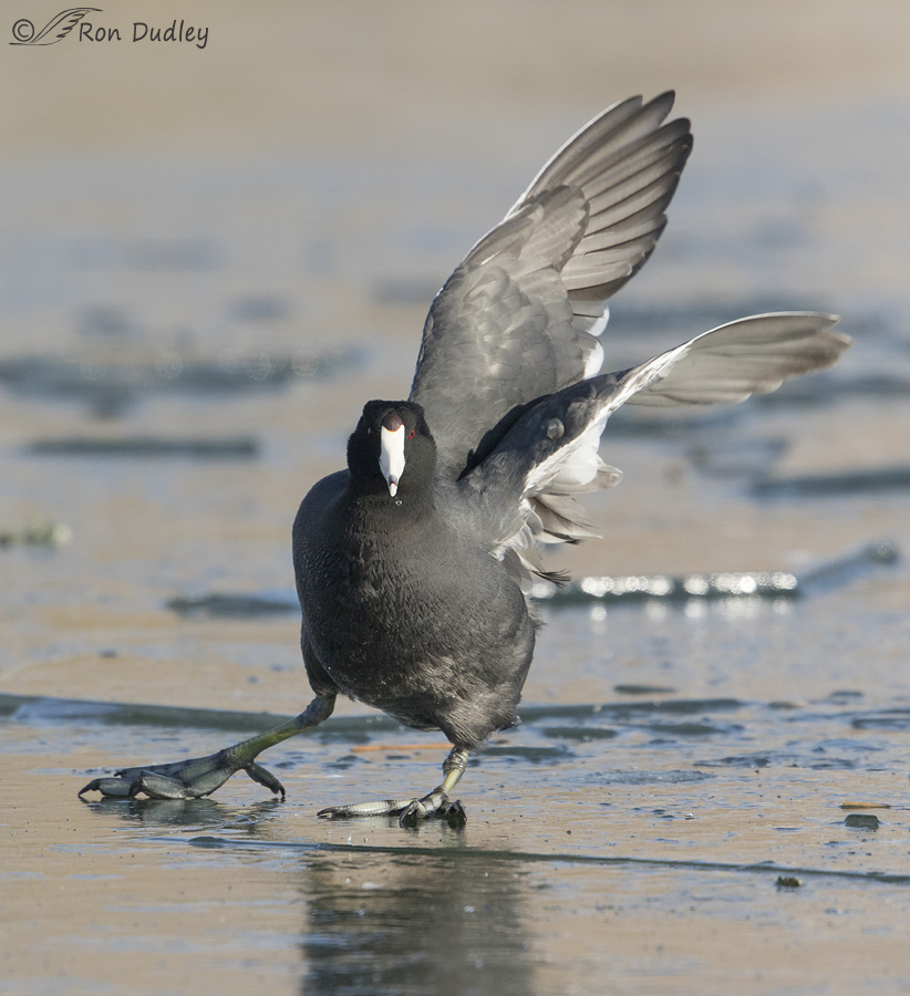 american-coot-2759-ron-dudley