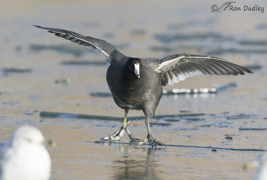american-coot-2761-ron-dudley