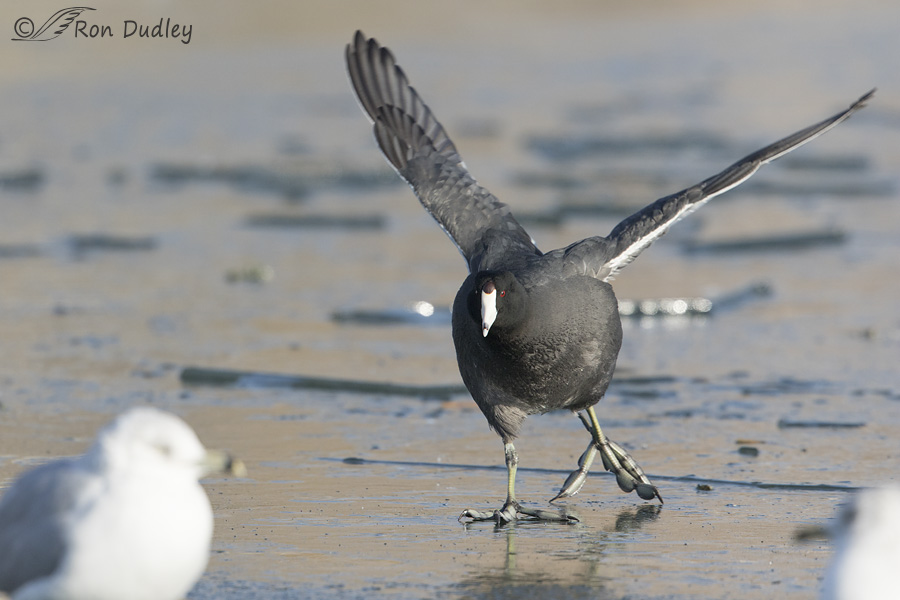 american-coot-2766-ron-dudley