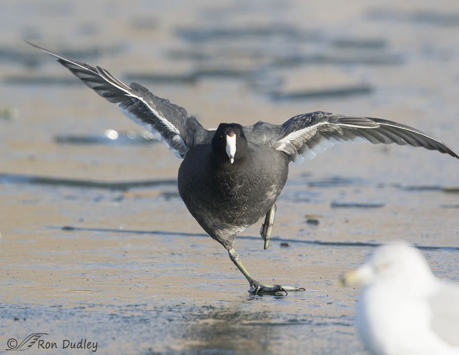 american-coot-2771-ron-dudley