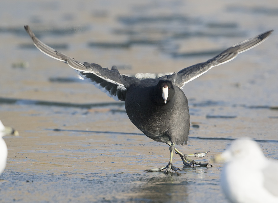 american-coot-2772-ron-dudley