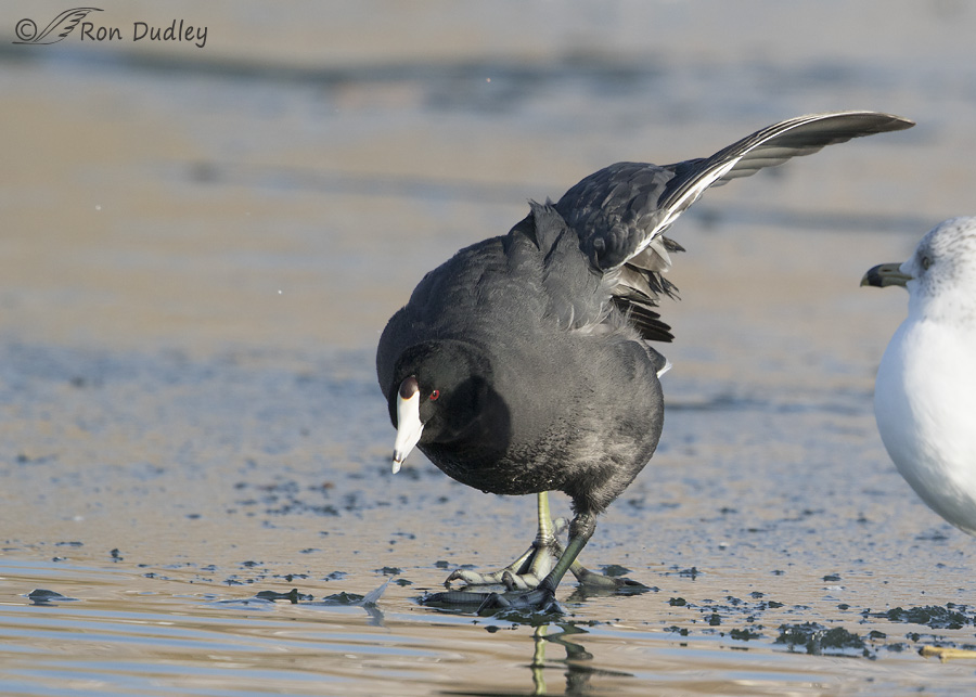 american-coot-2792-ron-dudley