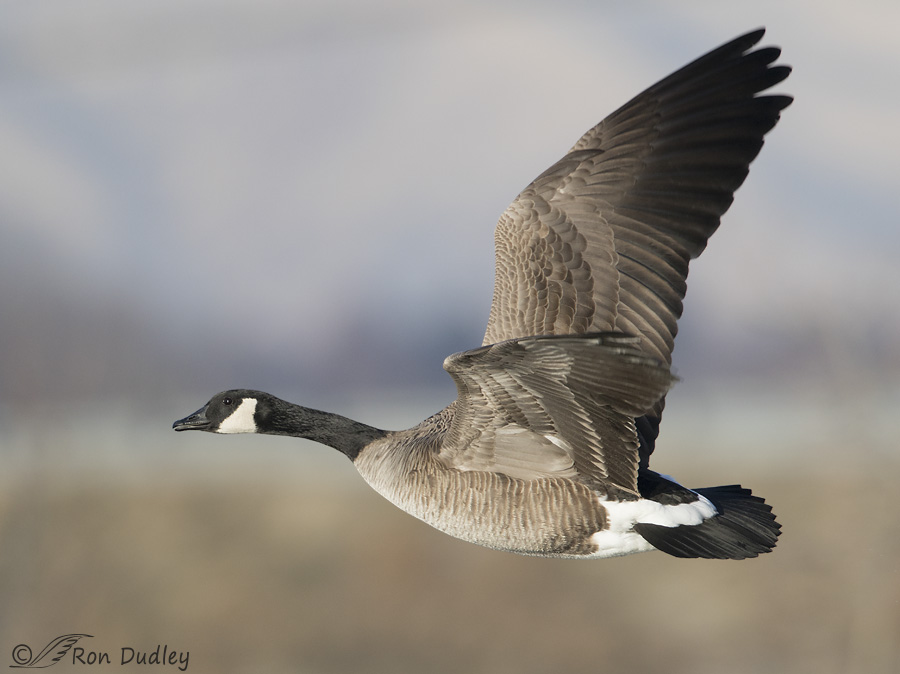 canada-goose-2183-ron-dudley