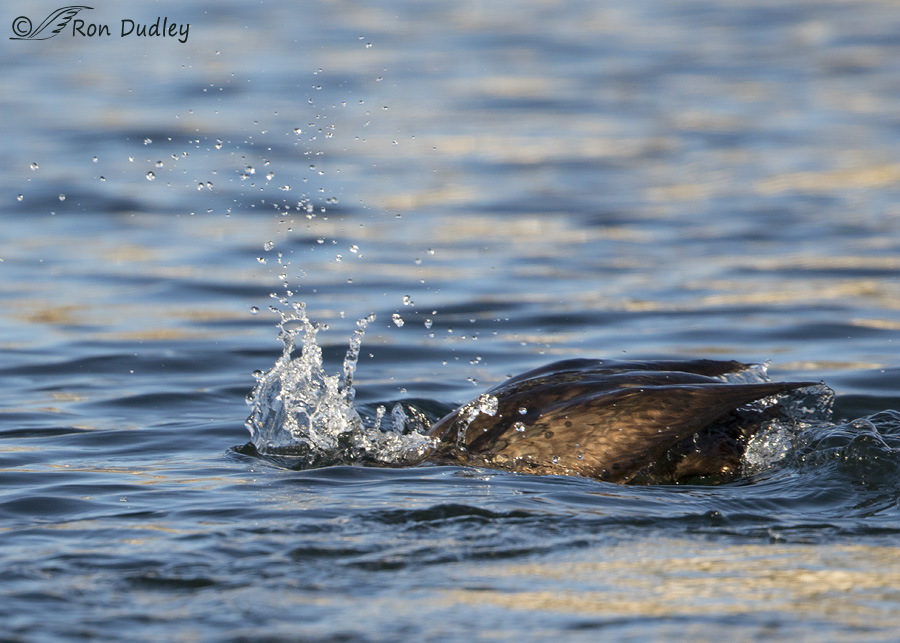 double-crested-cormorant-0570-ron-dudley