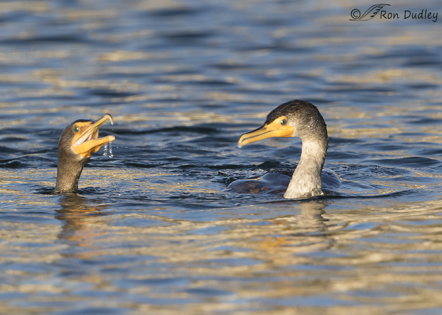 double-crested-cormorant-0574-ron-dudley