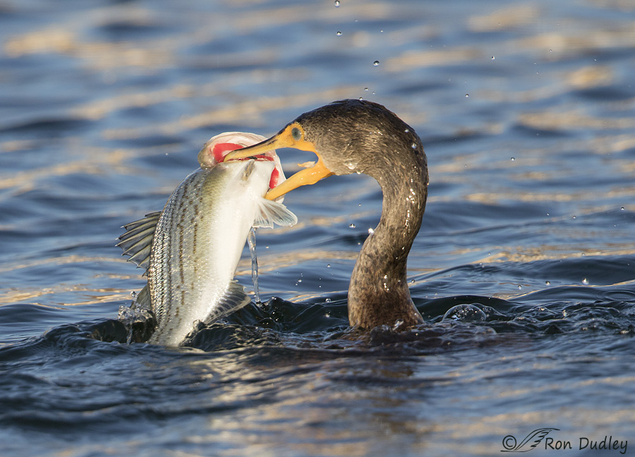 double-crested-cormorant-0667-ron-dudley