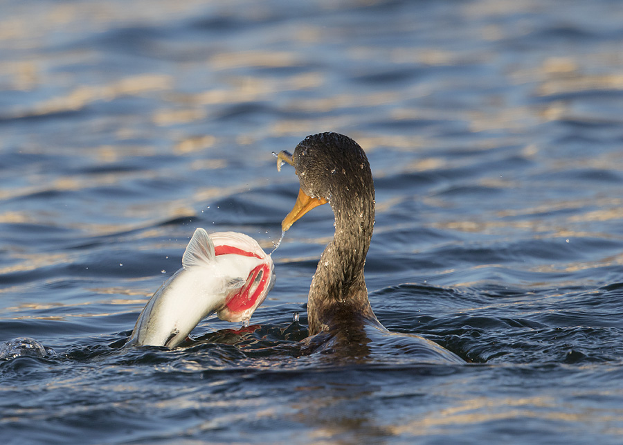 double-crested-cormorant-0670-ron-dudley