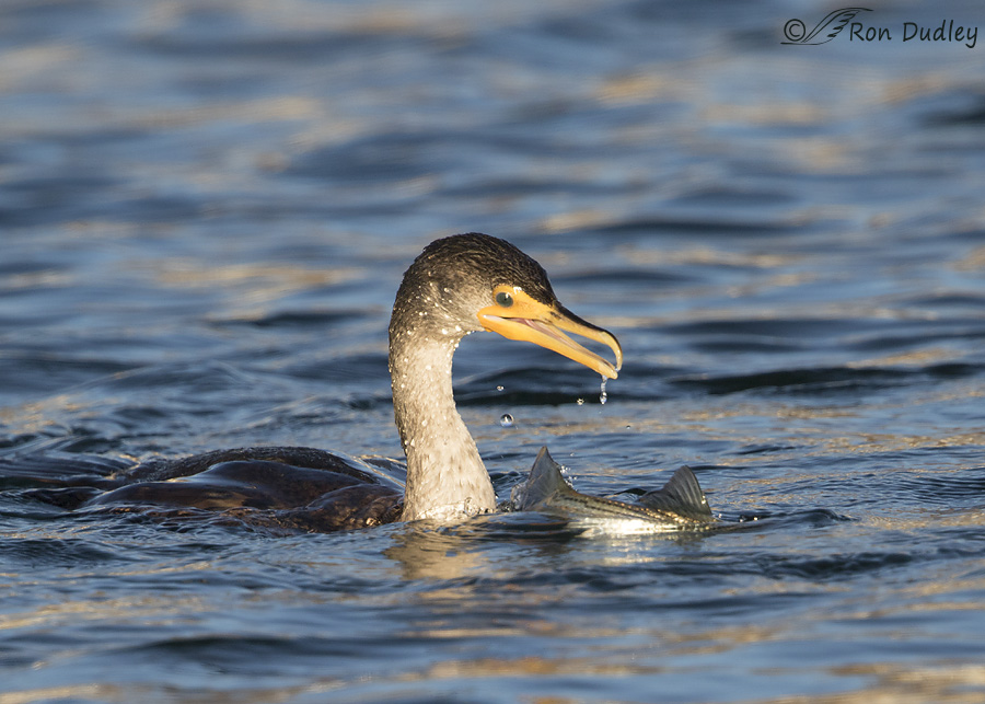 double-crested-cormorant-0680-ron-dudley
