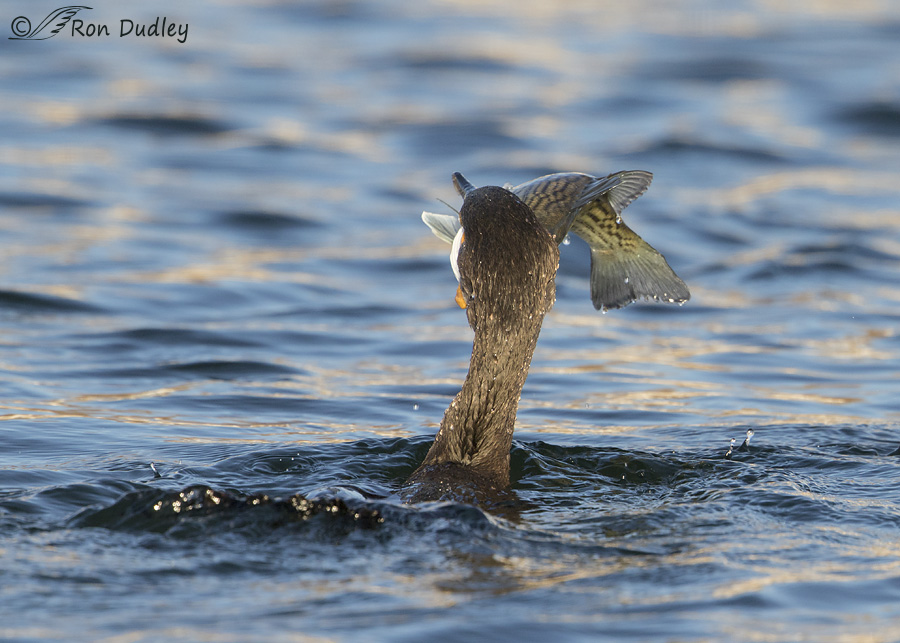 double-crested-cormorant-0705-ron-dudley