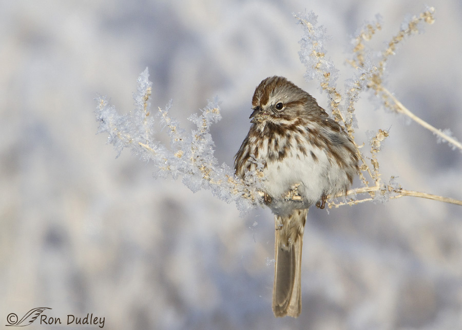song-sparrow-2154b-ron-dudley