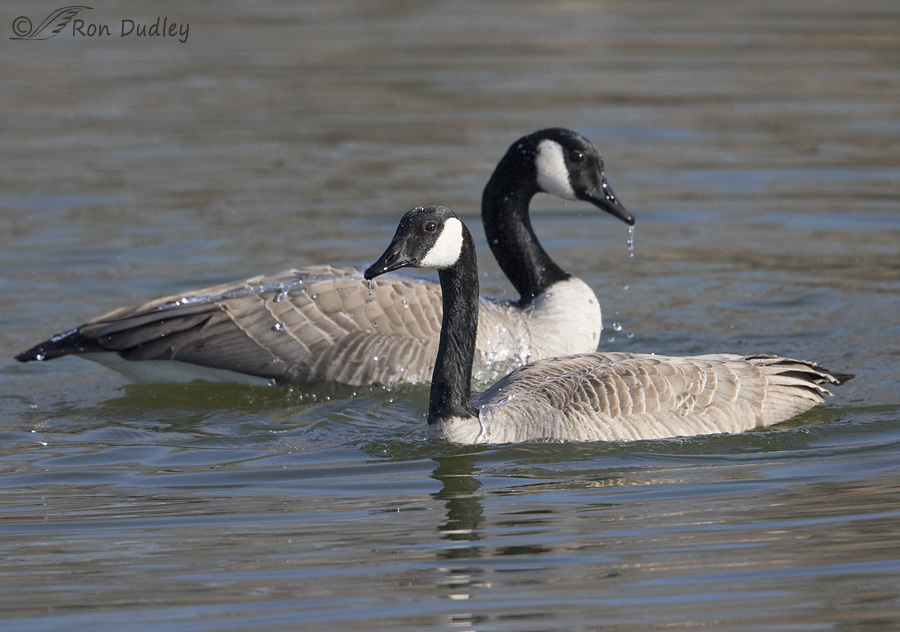 canada goose 5712 ron dudley