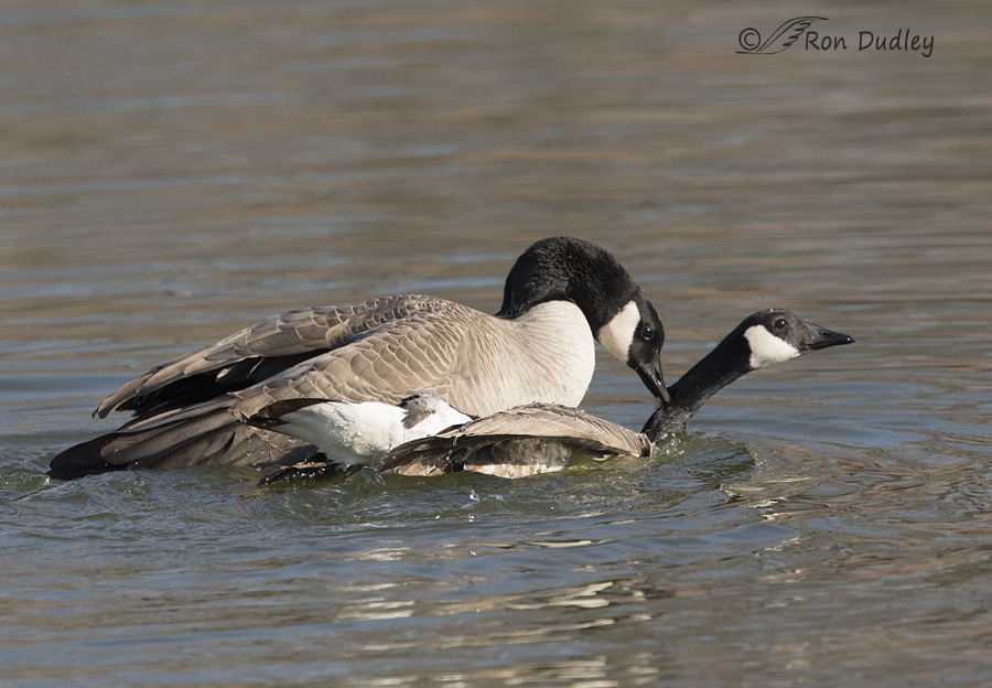canada goose 5748 ron dudley