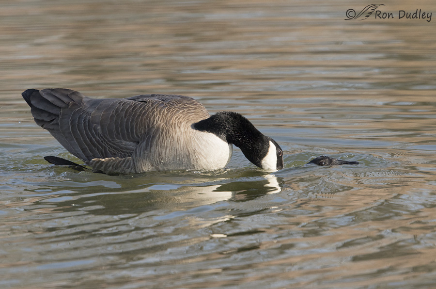 canada goose 5770 ron dudley
