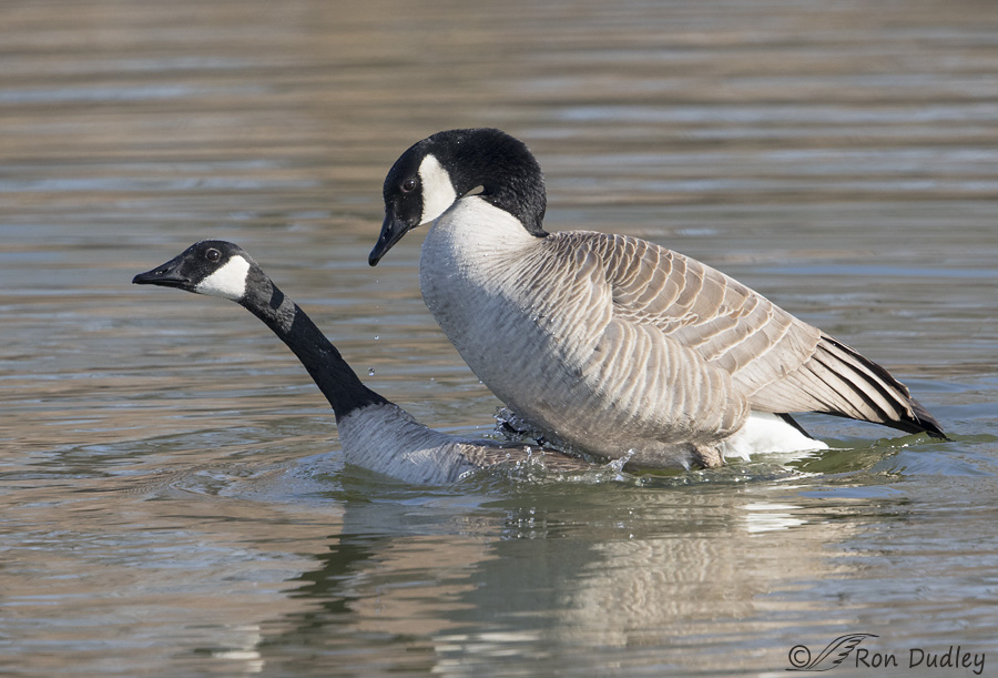 canada goose 5814 ron dudley