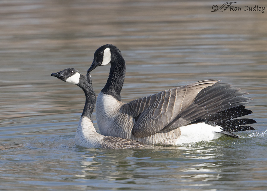 canada goose 5844 ron dudley