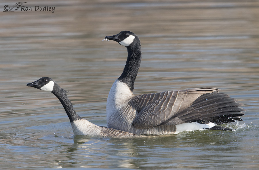 canada goose 5846 ron dudley