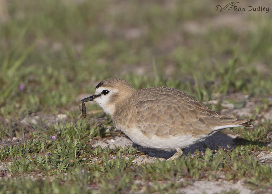 mountain-plover-4192-ron-dudley