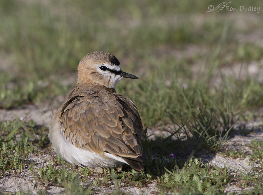 mountain-plover-4601-ron-dudley