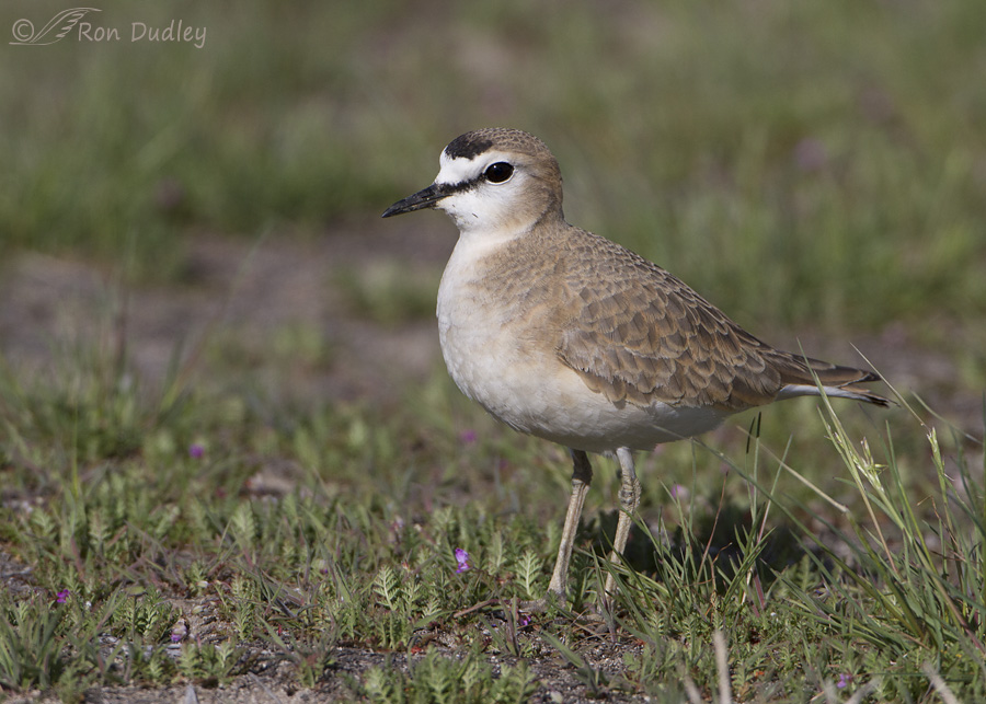 mountain-plover-4696-ron-dudley