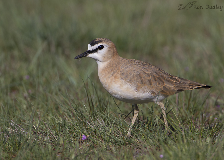 mountain-plover-4714-ron-dudley