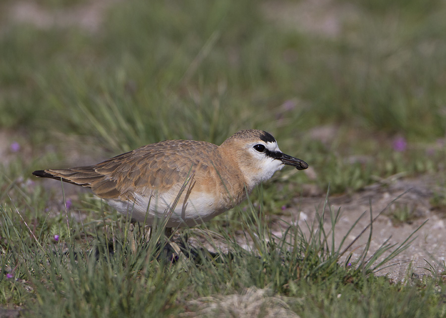 mountain-plover-4745-ron-dudley
