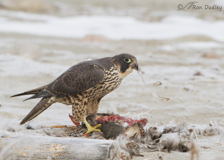 A Peregrine Falcon Enjoying Duck For Breakfast (and a faux pas on my ...