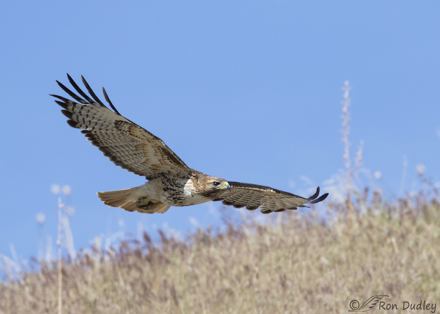 Red Tailed Hawk In Flight Over A Hillside