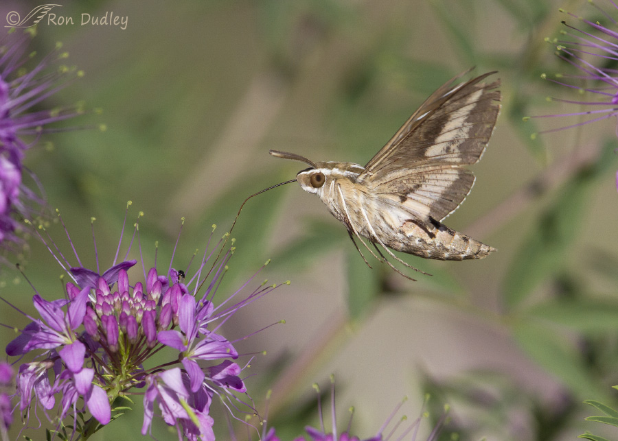 Swainsons hawks are yet another reason to love sphinx moths 14000 mightylinksfo