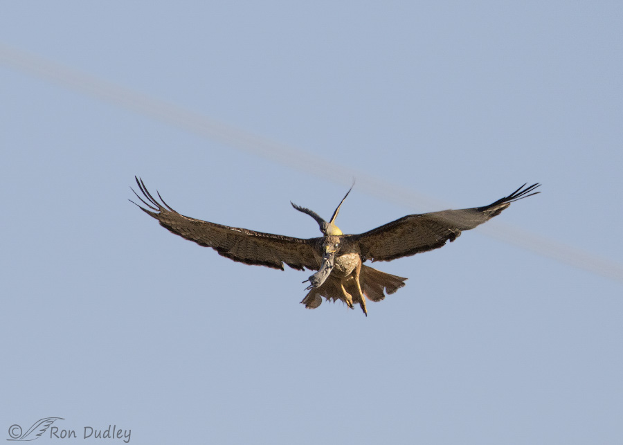Kingbird Riding The Back Of A Red Tailed Hawk In Flight With Prey