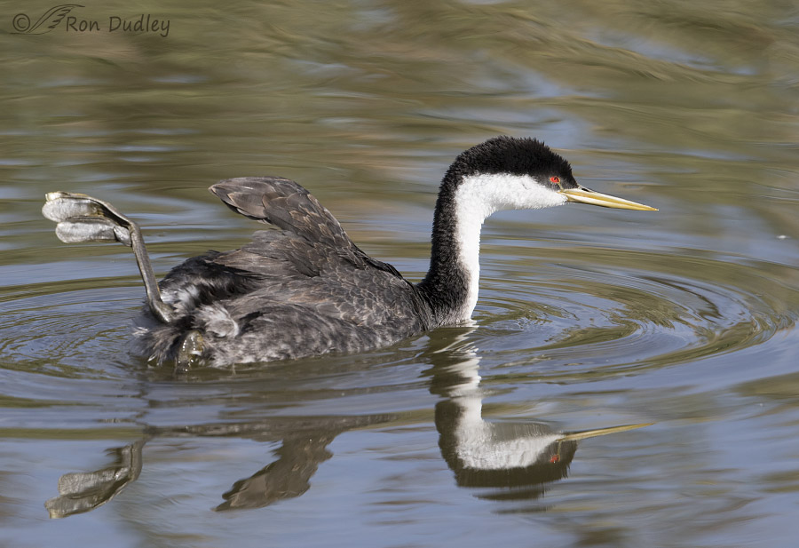 "Western Grebes ""Foot Shipping"" « Feathered Photography"