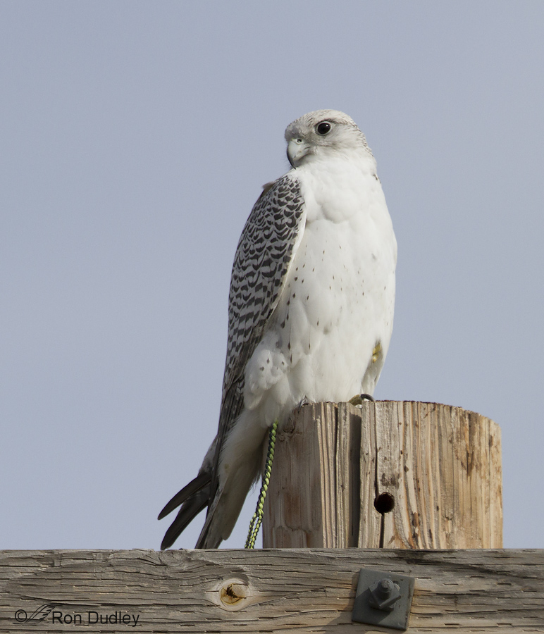 Yet Another Escaped Falconry Bird White Gyrfalcon
