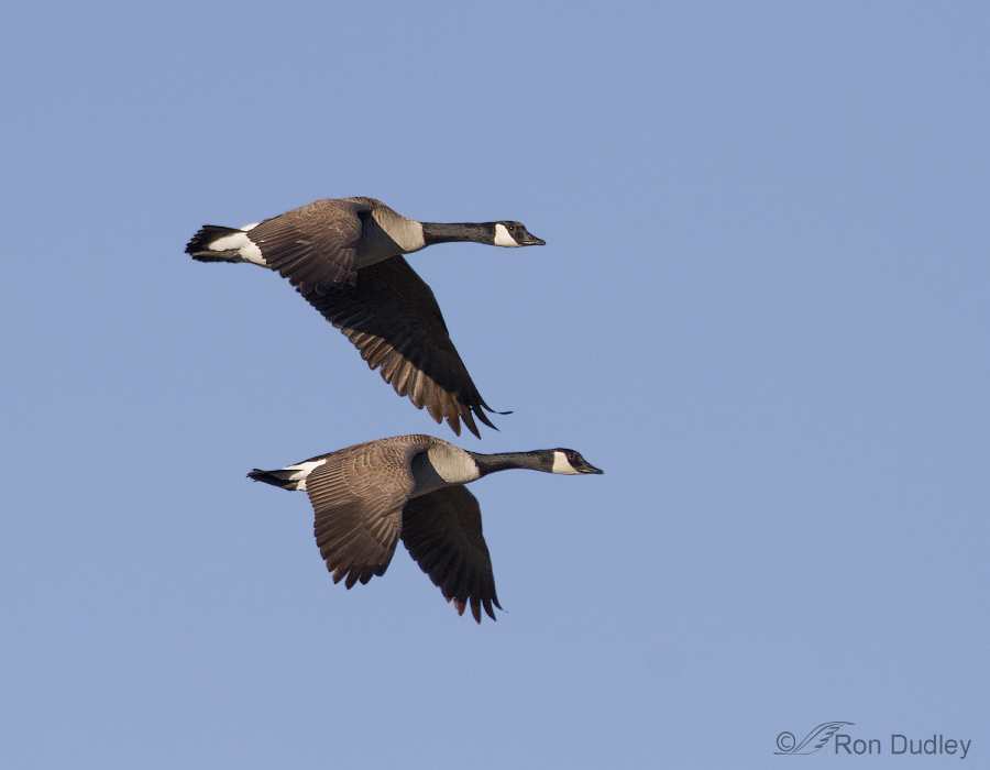 Canada Goose 3578 Ron Dudley