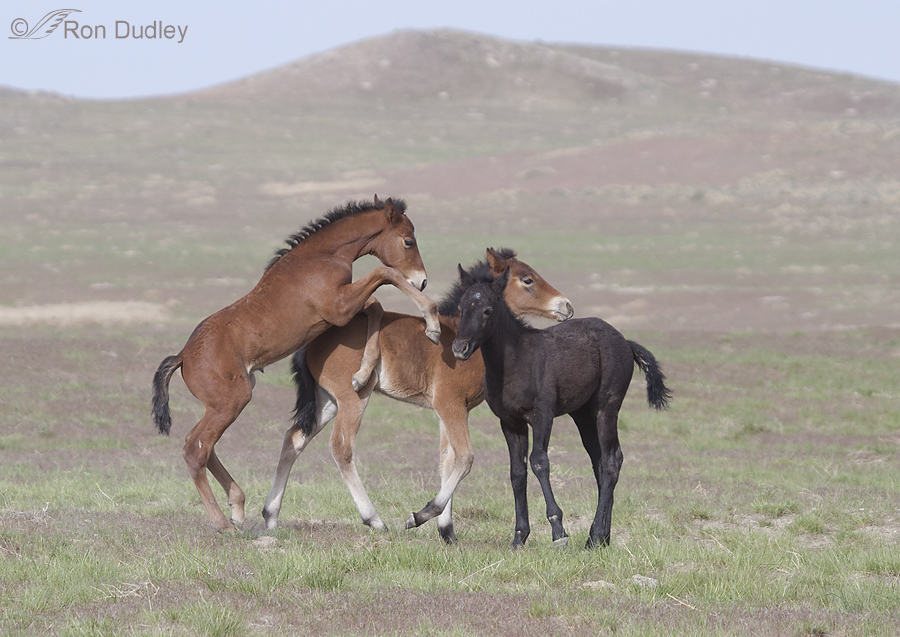 Wild Horses �C Colts, Mating, Dust Baths And More Fighting « Feathered Photography900 x 637 jpeg 311kB