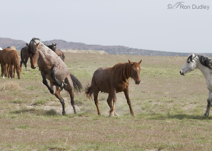 Wild Horses – Colts, Mating, Dust Baths And More Fighting