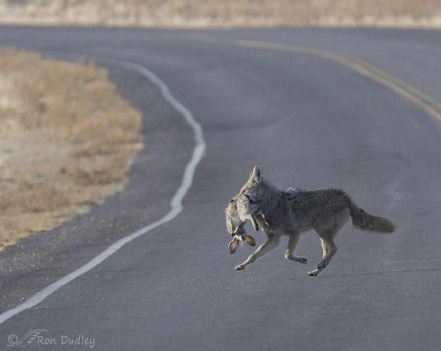 OA2.org • View topic - 17 pound red fox |Jackrabbit Got Killed