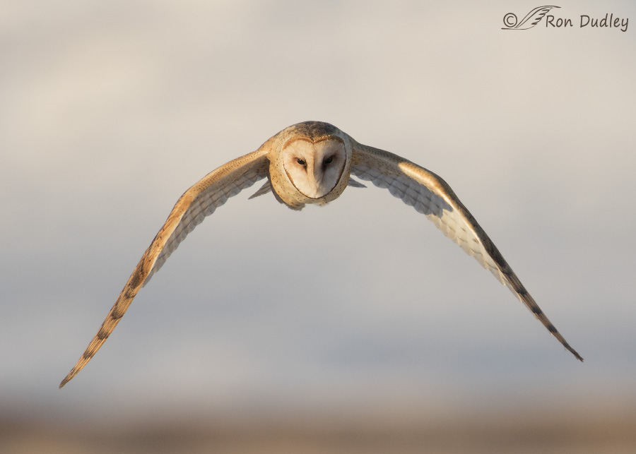 Barn Owl Hunting In Daylight Feathered Photography