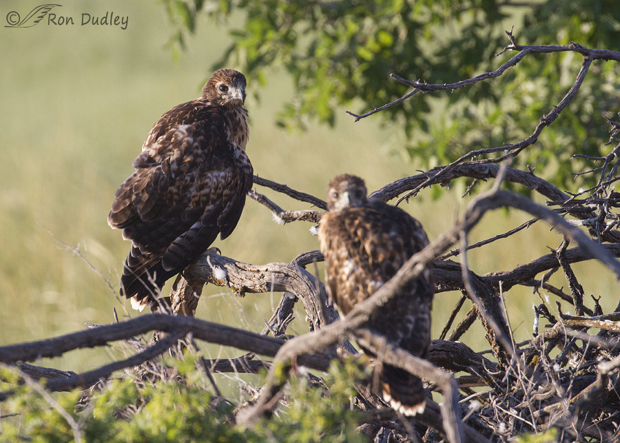 A Clumsy Red Tailed Hawk Fledgling From Yet Another Nest Feathered