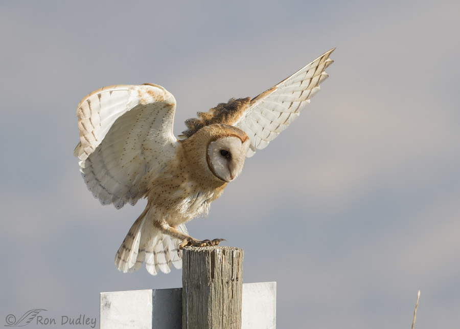 Barn Owl Landing Series Feathered Photography