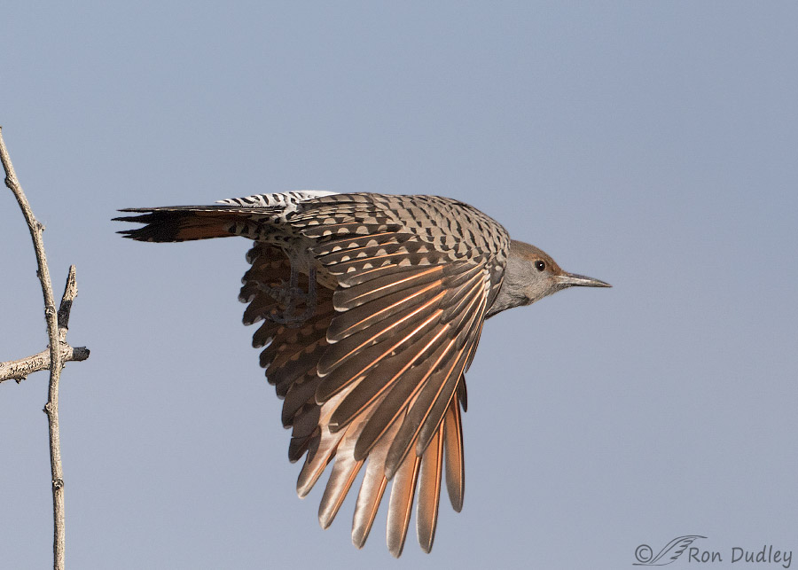 Red breasted flicker