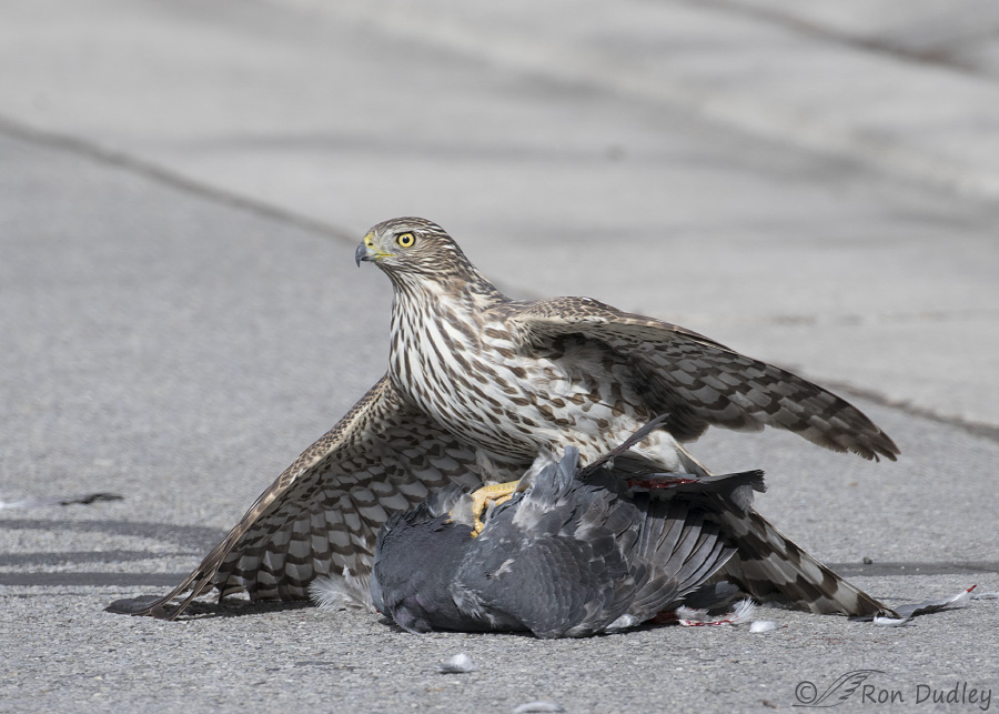 Whats For Lunch Asked Coopers Hawk >> Three Cooper S Hawks With Prey Feathered Photography