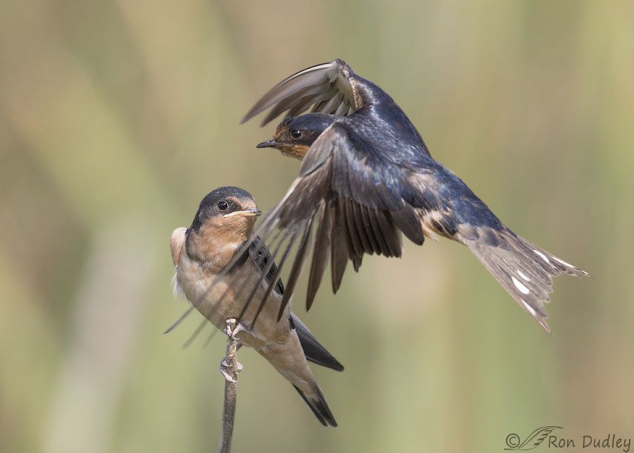 Barn Swallow Feeding A Fledgling On The Wing - Feathered ...