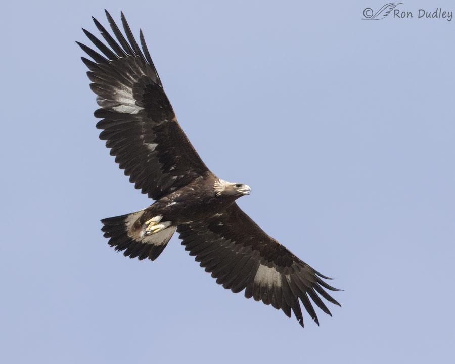 Images of golden eagles in flight