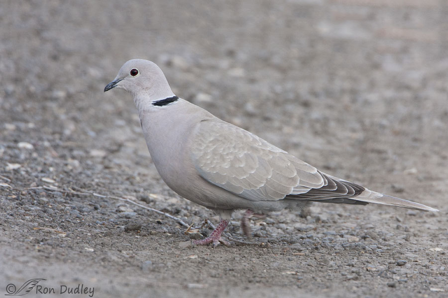 Eurasian Collared Doves How They Got Here And Does It Matter